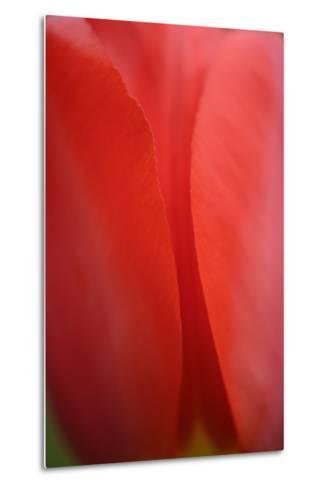 Tulip, Tulipa, Blossom-Andreas Keil-Metal Print