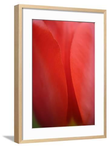 Tulip, Tulipa, Blossom-Andreas Keil-Framed Art Print