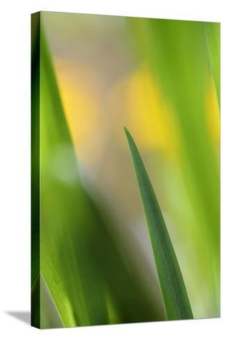 Marsh Iris, Yellow Iris, Iris Pseudacorus, Leaves in the Back Light-Andreas Keil-Stretched Canvas Print