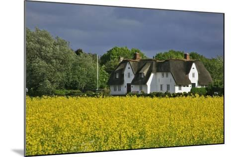 Friesenhof' Behind a Rape Field at 'Bob Terp' (Street) in Archsum (Village) on the Island of Sylt-Uwe Steffens-Mounted Photographic Print