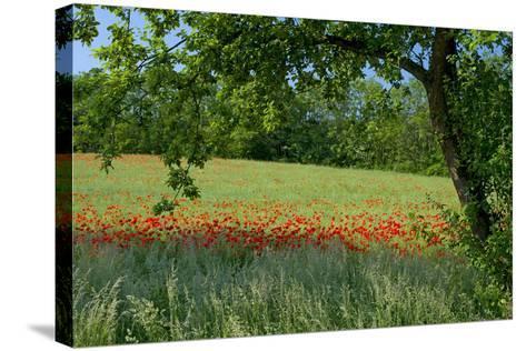 Germany, Weser Hills, Lower Saxony, Polle, Corn Poppy Field, Tree-Chris Seba-Stretched Canvas Print