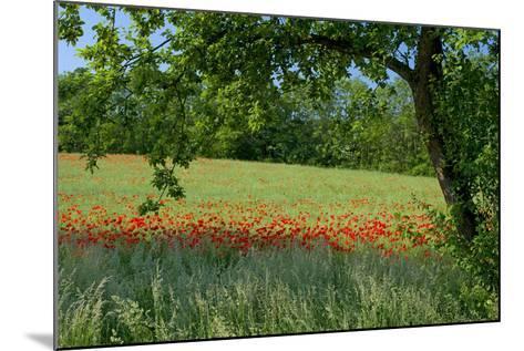 Germany, Weser Hills, Lower Saxony, Polle, Corn Poppy Field, Tree-Chris Seba-Mounted Photographic Print