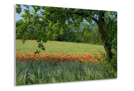 Germany, Weser Hills, Lower Saxony, Polle, Corn Poppy Field, Tree-Chris Seba-Metal Print