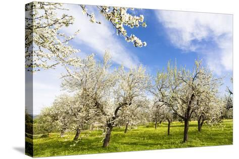 Blossoming Almond Trees on a Flower Meadow with Blue Sky, Surface Level, Santa Maria Del Cami-P. Kaczynski-Stretched Canvas Print