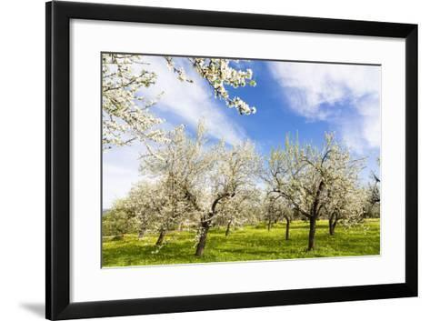 Blossoming Almond Trees on a Flower Meadow with Blue Sky, Surface Level, Santa Maria Del Cami-P. Kaczynski-Framed Art Print