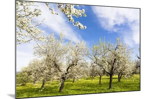 Blossoming Almond Trees on a Flower Meadow with Blue Sky, Surface Level, Santa Maria Del Cami-P. Kaczynski-Mounted Photographic Print