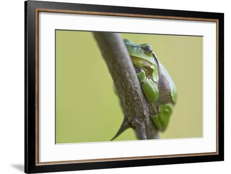 Frog, European Tree Frog, Hyla Arborea-Rainer Mirau-Framed Art Print