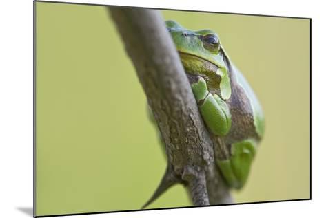 Frog, European Tree Frog, Hyla Arborea-Rainer Mirau-Mounted Photographic Print