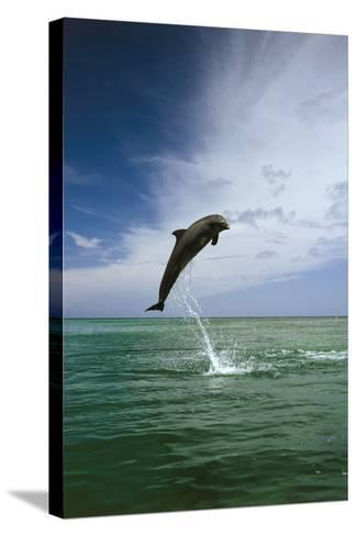 Sea, Ordinary Dolphin, Delphinus Delphis, Jump, Series-Frank Lukasseck-Stretched Canvas Print
