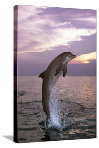 Sea, Ordinary Dolphin, Delphinus Delphis, Jump, Twilight, Series, Waters, Wildlife, Animal, Mammal-Frank Lukasseck-Stretched Canvas Print