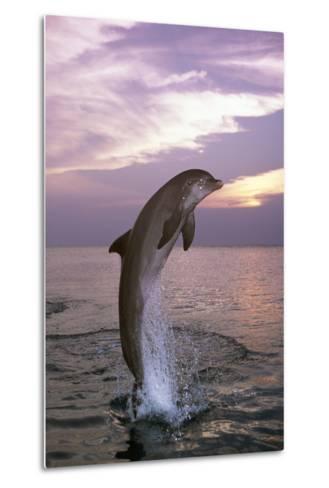 Sea, Ordinary Dolphin, Delphinus Delphis, Jump, Twilight, Series, Waters, Wildlife, Animal, Mammal-Frank Lukasseck-Metal Print