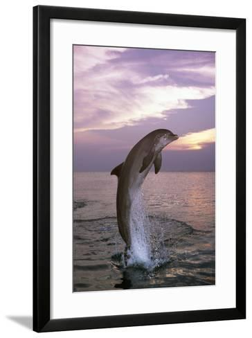 Sea, Ordinary Dolphin, Delphinus Delphis, Jump, Twilight, Series, Waters, Wildlife, Animal, Mammal-Frank Lukasseck-Framed Art Print