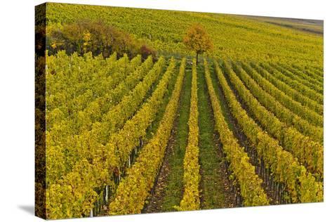 Germany, Rhineland-Palatinate, Palatinate, German Wine Road, Vineyards, Autumn, Tree, Colorful-Udo Siebig-Stretched Canvas Print