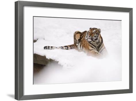 Siberian Tiger, Panthera Tigris Altaica, Subadult Lies in the Snow-Andreas Keil-Framed Art Print