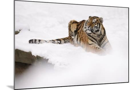 Siberian Tiger, Panthera Tigris Altaica, Subadult Lies in the Snow-Andreas Keil-Mounted Photographic Print