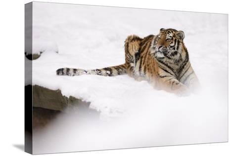 Siberian Tiger, Panthera Tigris Altaica, Subadult Lies in the Snow-Andreas Keil-Stretched Canvas Print