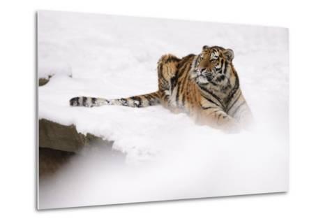 Siberian Tiger, Panthera Tigris Altaica, Subadult Lies in the Snow-Andreas Keil-Metal Print