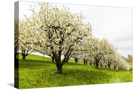 Blossoming Cherry Trees on a Meadow, Spring, Winersingen, Basel Country, Switzerland, Alps-P. Kaczynski-Stretched Canvas Print