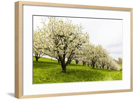 Blossoming Cherry Trees on a Meadow, Spring, Winersingen, Basel Country, Switzerland, Alps-P. Kaczynski-Framed Art Print