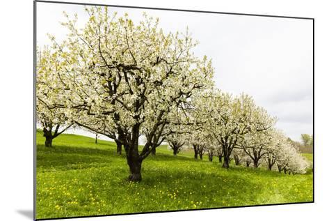 Blossoming Cherry Trees on a Meadow, Spring, Winersingen, Basel Country, Switzerland, Alps-P. Kaczynski-Mounted Photographic Print