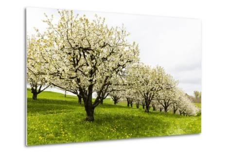 Blossoming Cherry Trees on a Meadow, Spring, Winersingen, Basel Country, Switzerland, Alps-P. Kaczynski-Metal Print