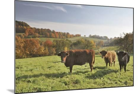 Cows, Autumn, Lindenfels (Town), Odenwald (Low Mountain Range), Hesse, Germany-Raimund Linke-Mounted Photographic Print
