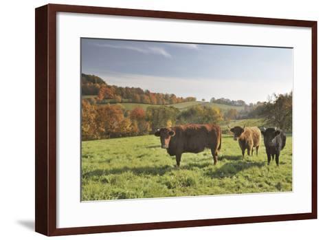 Cows, Autumn, Lindenfels (Town), Odenwald (Low Mountain Range), Hesse, Germany-Raimund Linke-Framed Art Print