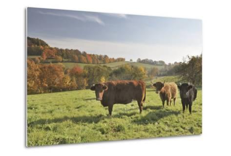 Cows, Autumn, Lindenfels (Town), Odenwald (Low Mountain Range), Hesse, Germany-Raimund Linke-Metal Print