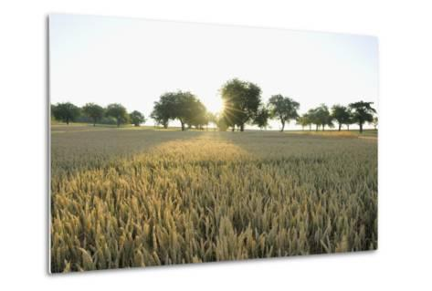 Wheat Field, Marktheidenfeld (Town), Franconia, Bavaria, Germany-Raimund Linke-Metal Print