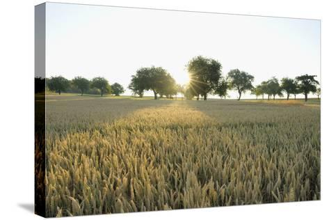 Wheat Field, Marktheidenfeld (Town), Franconia, Bavaria, Germany-Raimund Linke-Stretched Canvas Print