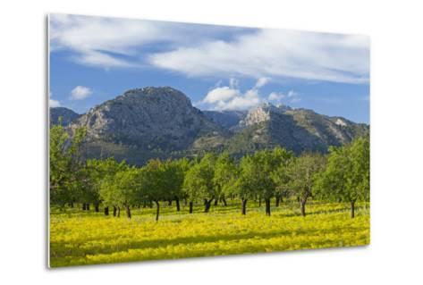 Spanish Balearic Islands, Island Majorca, Olive Grove Infront of the Mountains of the Tramuntana-Chris Seba-Metal Print