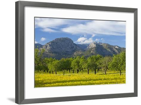 Spanish Balearic Islands, Island Majorca, Olive Grove Infront of the Mountains of the Tramuntana-Chris Seba-Framed Art Print