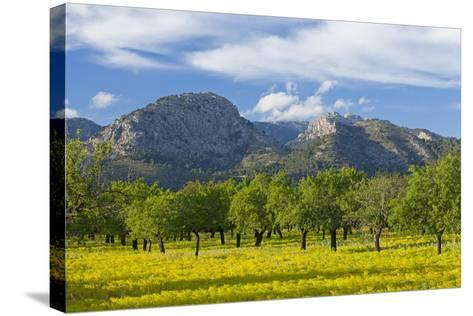 Spanish Balearic Islands, Island Majorca, Olive Grove Infront of the Mountains of the Tramuntana-Chris Seba-Stretched Canvas Print