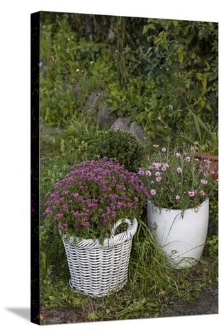 Asters in the Pot-Andrea Haase-Stretched Canvas Print