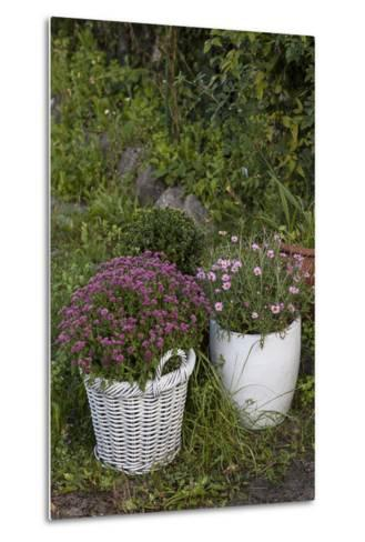 Asters in the Pot-Andrea Haase-Metal Print