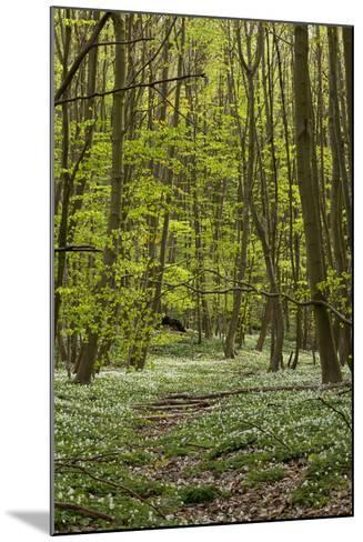 Europe, Germany, Mecklenburg-Western Pomerania, Baltic Sea Island RŸgen, Forest Path-Chris Seba-Mounted Photographic Print