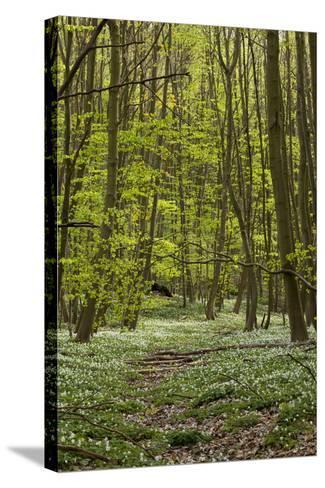 Europe, Germany, Mecklenburg-Western Pomerania, Baltic Sea Island RŸgen, Forest Path-Chris Seba-Stretched Canvas Print