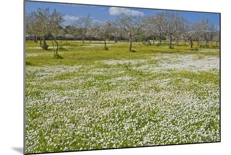 Europe, Spain, Majorca, Meadow, Daisy, Almonds-Chris Seba-Mounted Photographic Print
