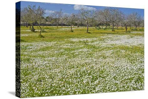 Europe, Spain, Majorca, Meadow, Daisy, Almonds-Chris Seba-Stretched Canvas Print