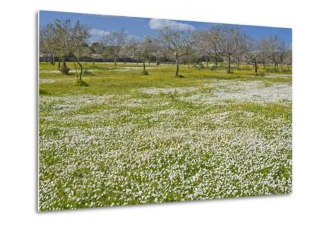 Europe, Spain, Majorca, Meadow, Daisy, Almonds-Chris Seba-Metal Print