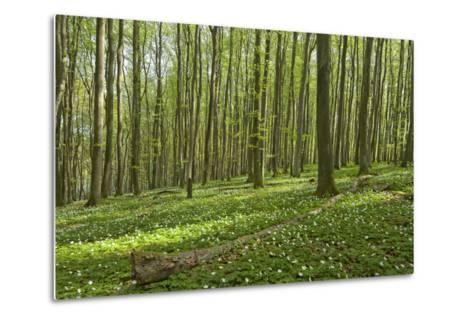 Europe, Germany, Mecklenburg-Western Pomerania, Baltic Sea Island R?gen, Forest Path-Chris Seba-Metal Print