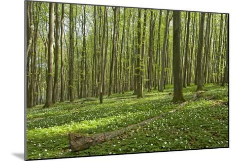 Europe, Germany, Mecklenburg-Western Pomerania, Baltic Sea Island R?gen, Forest Path-Chris Seba-Mounted Photographic Print
