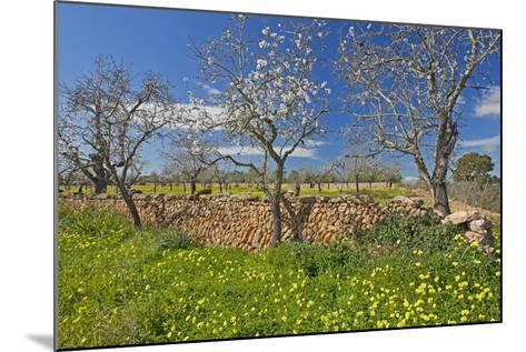 Europe, Spain, Majorca, Meadow, Yellow Flowers, Almonds-Chris Seba-Mounted Photographic Print