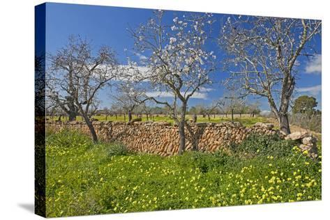 Europe, Spain, Majorca, Meadow, Yellow Flowers, Almonds-Chris Seba-Stretched Canvas Print