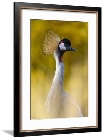 Crowned Crane, Balearica Pavonina-Andreas Keil-Framed Art Print