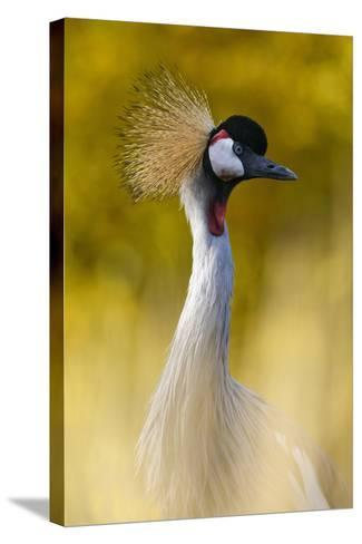 Crowned Crane, Balearica Pavonina-Andreas Keil-Stretched Canvas Print