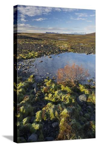 Moss Cushion, Shrub, Skaftafell, South Iceland, Iceland-Rainer Mirau-Stretched Canvas Print