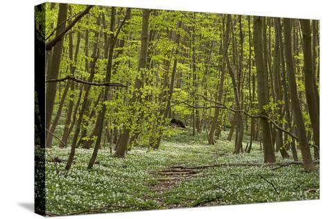Europe, Germany, Mecklenburg-Western Pomerania, Baltic Sea Island R?gen, Forest Path-Chris Seba-Stretched Canvas Print