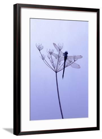 Dragonfly, Plant, [M-Herbert Kehrer-Framed Art Print