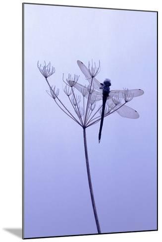 Dragonfly, Plant, [M-Herbert Kehrer-Mounted Photographic Print